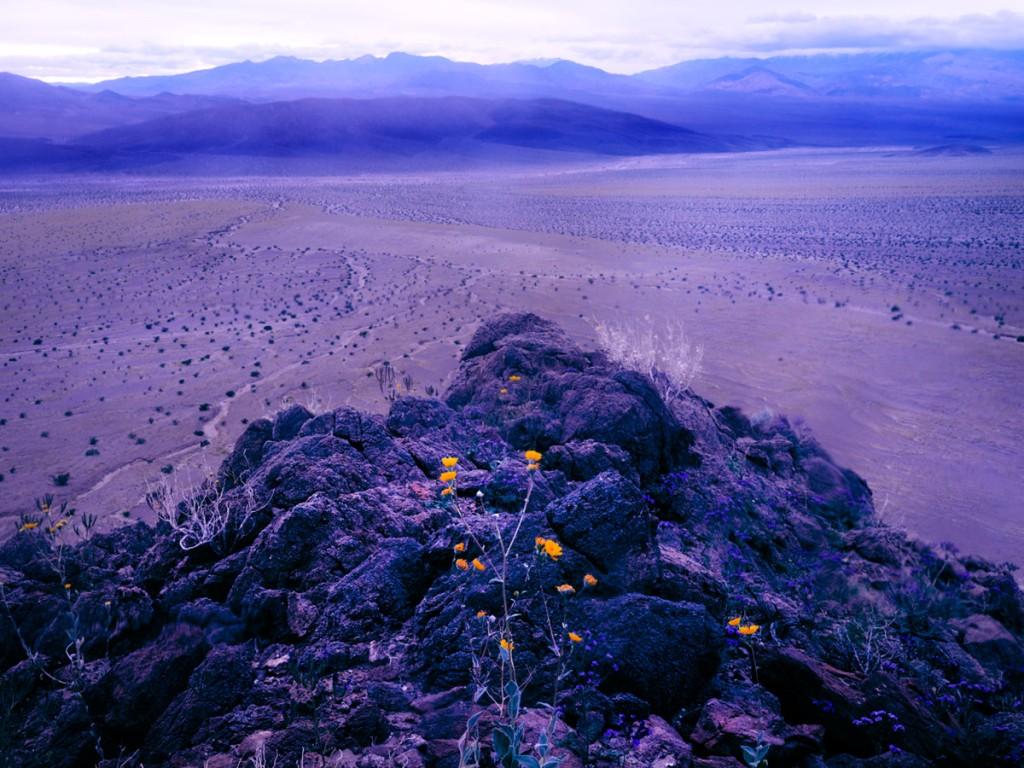 Detalle de las flores emergiendo de las rocas del desierto