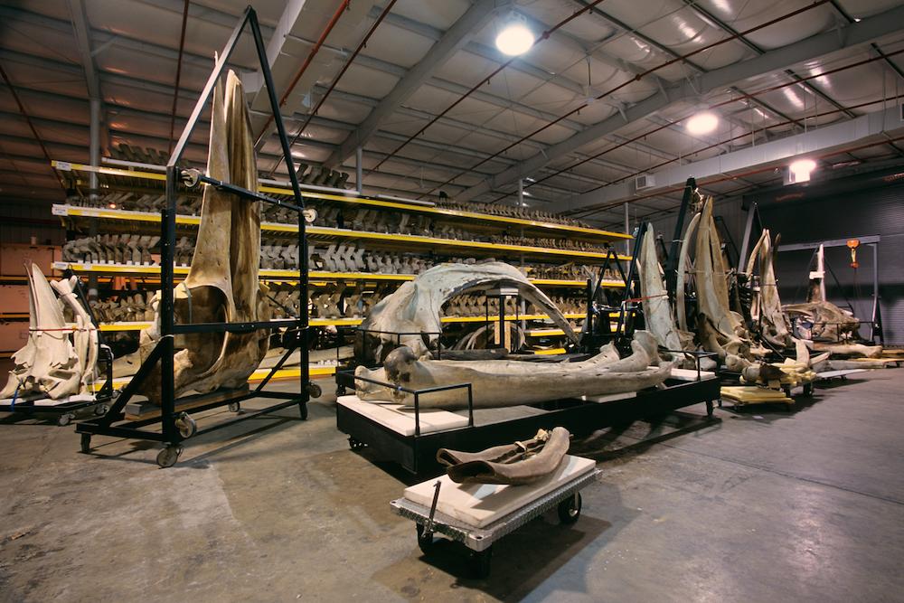 esqueletos gigantes en el museo de historia natural